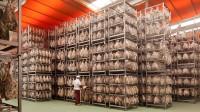 El buen hacer en la elaboración tradicional de embutidos en León